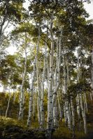 Aspen Trees  Reach for the Sky by houstonryan