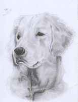 Golden Retriever by WiccanSoul