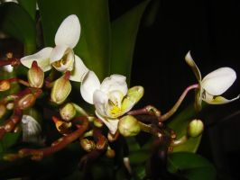 Mini Orchids II by moreMDM