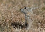 Ground Squirrel-The Sentinel by JestePhotography