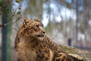 Leopard looking by TheSpenner