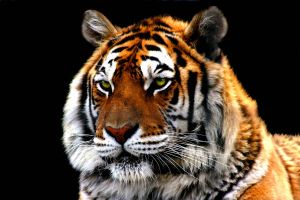tiger project in color by TlCphotography730
