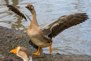 Goose showing off by albuemil