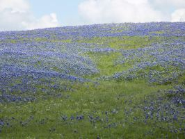 Field of bluebonnets by MollyMcMolly