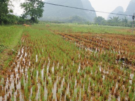 Fields of Rice by forgetandmoveon