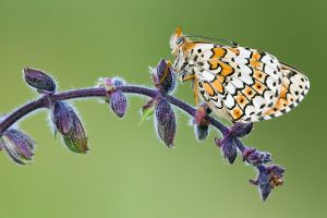 Glanville Fritillary by mescamesh