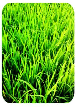 green grass on the bali field by babybandit