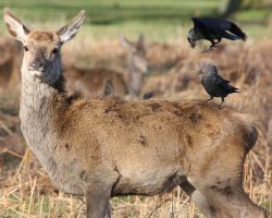 Red deer with jackdaws by moreau13