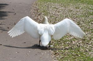 Swan wings 1 by CAStock