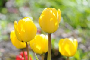 Yellow tulips stock by Quinnphotostock