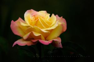Yellow Rose by TruemarkPhotography