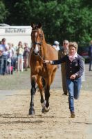 Hannoverian Bay Gelding Vet Check Trot by LuDa-Stock