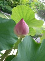 lotus 2.1 by meihua-stock