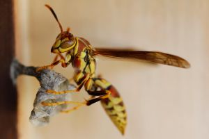 Wasp building a nest by suhleap