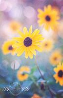 Sunflower II by CandiceSmithPhoto