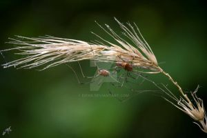 Spiders over wheat by eipar