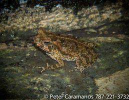 Frog by Caramanos2000