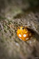 An orange ladybug by MCL28