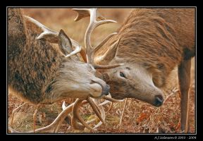Rutting I by andy-j-s