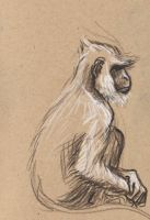 sketching in the zoo: Langur by Velouriah