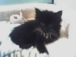 Fluffy when she was a kitten by PokeQueen