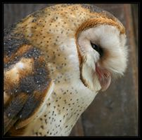 Barn Owl II by oOBrieOo