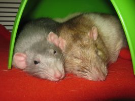 Spooning Rodents by Shangyu