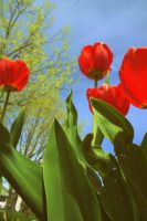 Red Tulips and Sky by MysteryWoman101
