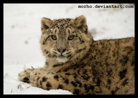 snowie on the snow by morho