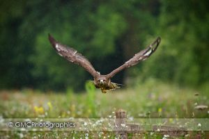 Buzzard flight by GMCPhotographics