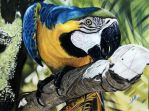 Macaw by iSaBeL-MR