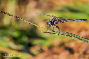 dragonfly Libellule by hubert61