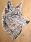 Coyote by KristynJanelle