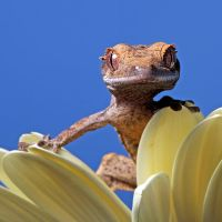 Crested Gecko 2 by SnowPoring