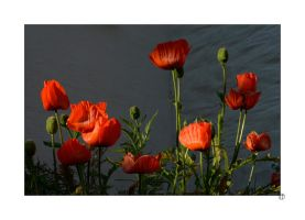 Sunset Poppies by thejamcascru
