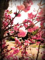 Cherry Blossom 8 by this-is-the-life2905