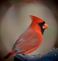 Cardinal In the Spotlight by Tailgun2009