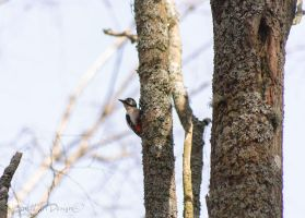 Small Woodpecker by BanditArtDesign