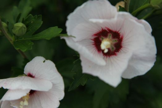 Rose of Sharon by SailorCross