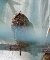 Great Horned Owl by 0g0p0g0