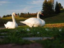 Swans... by Wilczoor