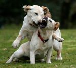 Fighting Puppies 2 by markdregan