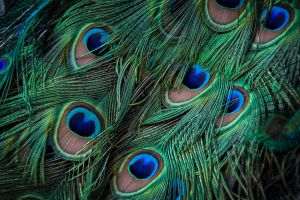 Peacock Feathers by eprowe