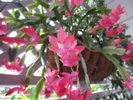 pink christmas cactus by angela808