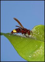Wasp Closeup by avrin1