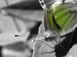 Green veind butterflies mating by velar1