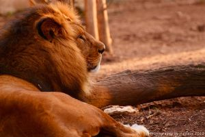 The Lion by Havidor