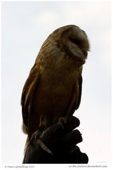 Dark Breasted Barn Owl by In-the-picture