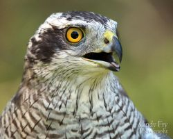 Goshawk by lost-nomad07