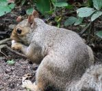 Central Park squirrel 3 - New York by wildplaces